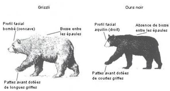 un ours polaire rencontre un grizzly